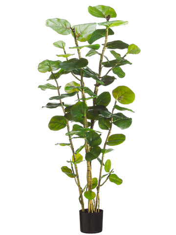 5' EVA Sea Grape Plant with 67 Leaves in Black Plastic Pot Green (pack of 2)