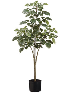 "45"" Beech Tree x4 in Pot  Variegated (pack of 4)"