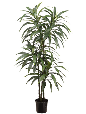 6' Yucca in Pot  Green (pack of 2)
