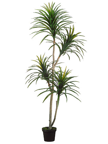 6' Yucca Tree x2 in Plastic Pot Green Burgundy (pack of 2)