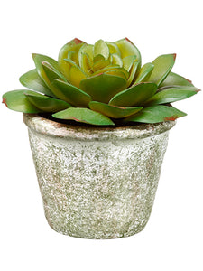 "4"" Echeveria in Paper Mache Pot Green (pack of 12)"
