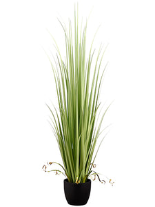 "60"" Reed Grass in Pot  Light Green (pack of 2)"