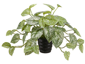 "9.5"" Hoya Bella Plant in Plastic Pot Green (pack of 24)"