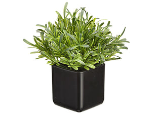 "8"" Podocarpus in Pot  Green (pack of 12)"