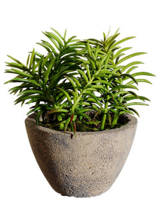"8"" Succulent in Cement Pot  Green (pack of 4)"