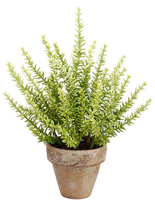 "12"" Sedum in Clay Pot  Green (pack of 6)"