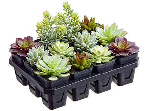 "6""Hx9""Wx12.5""L Potted Succulent in Nursery Pack (12 ea/box) Green Burgundy (pack of 1)"