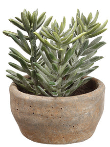 "7"" Aeonium in Clay Pot  Green (pack of 2)"