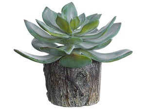 "5.5"" Echeveria in Cement Planter Green Gray (pack of 6)"