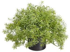 "7.5"" Soft Senecio in Plastic Nursery Pot Green (pack of 8)"