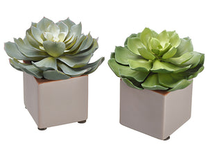 "6"" Echeveria in Ceramic Pot (2 Styles/set) Two Tone Green (pack of 2)"