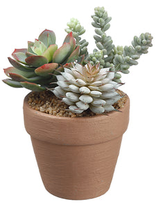 "5.5"" Succulent in Pot  Green Burgundy (pack of 4)"