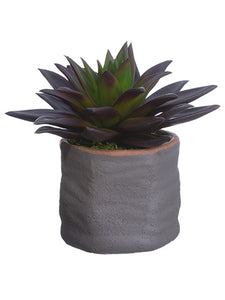 "6.5"" Echeveria in Cement Pot  Burgundy Green (pack of 4)"