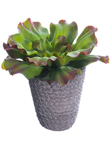 "6"" Ruffle Sedum in Cement Pot  Green (pack of 6)"