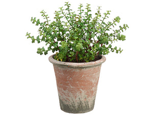 "12.5"" Jade Plant in Clay Pot  Green (pack of 1)"