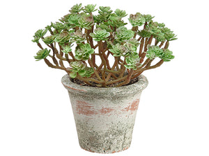 "7"" Sedum in Clay Pot  Green Burgundy (pack of 6)"