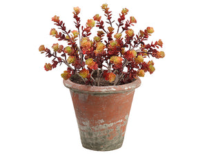 "16"" Sedum in Clay Pot  Burgundy Green (pack of 1)"