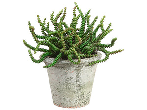 "6.5"" Worm Succulent in Clay Pot Green (pack of 6)"
