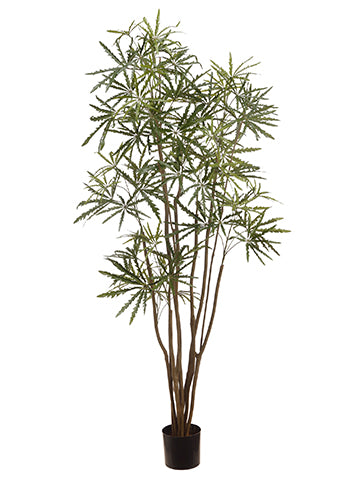 6' Aralia Tree in Plastic Nursery Pot Green (pack of 2)
