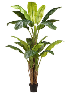 "70.75"" Banana Tree in Nursery Pot Green (pack of 2)"