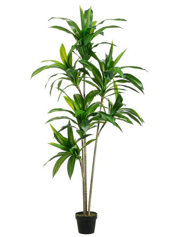 5.5' Exotic Dracaena Tree x3 Trunks with 6 Heads in Pot Green (pack of 2)