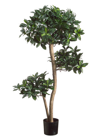 3' Euonymus Japonicus Tree in Plastic Pot Two Tone Green (pack of 2)