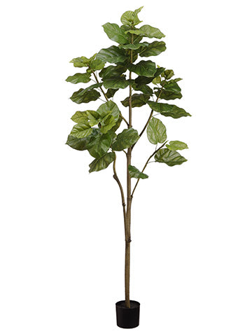 6' Ficus Umbellata Tree in Pot Green (pack of 2)