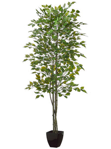 7' Ficus Tree in Black Square Plastic Pot Green (pack of 2)