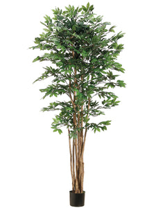 6' Pacific Lychee Tree w/2088 Leaves in Plastic Pot Green (pack of 2)