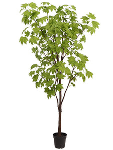 "90"" Maple Tree in Plastic Nursery Pot Green (pack of 1)"