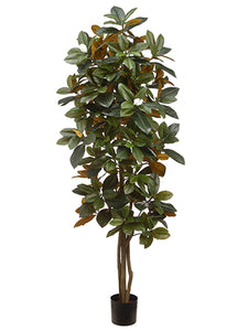 5' Magnolia Tree in Pot  Green (pack of 2)