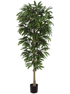 6.5' Mango Tree in Plastic Pot Two Tone Green (pack of 2)