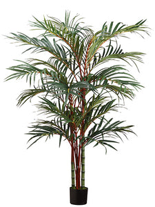 6' Lipstick Palm in Pot  Green (pack of 1)