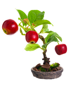 "6"" Apple Bonsai in Clay Plate  Red (pack of 4)"
