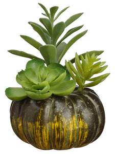 "5.5"" Succulent in Pumpkin  Green (pack of 12)"