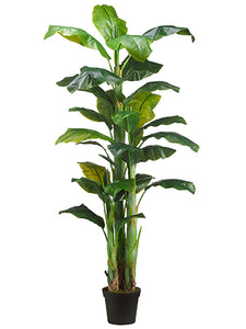 7.5' Banana Tree x3 in Pot  Green (pack of 1)