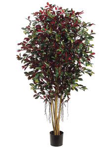 5' Ficus Retusa Full Tree w/2820 Lvs. w/Air-Roots Green Red (pack of 1)