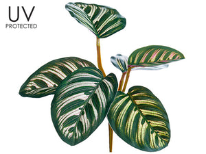 "7.5"" UV Protected Calathea Roseopicta Bush Green (pack of 12)"