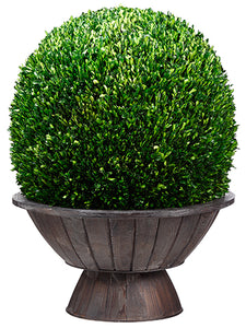 "31""Hx23""Wx23""L Preserved Boxwood Ball in Footed Asian Bowl Green (pack of 1)"