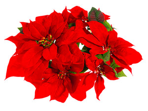 "3"" William Velvet Poinsettia Candle Ring Red (pack of 12)"