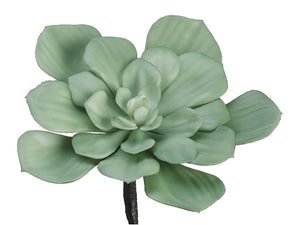 "7.5"" Frosted Echeveria  Light Green (pack of 6)"