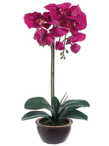 "20"" Phalaenopsis Orchid Plant in Ceramic Pot Orchid (pack of 1)"