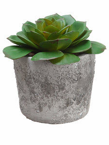"4.25"" Echeveria in Cement Pot  Green (pack of 36)"
