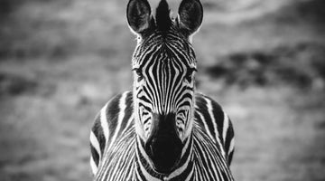 Earn Your Stripes And Save The Zebras