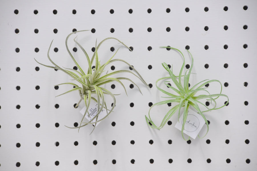 Airplant Picks
