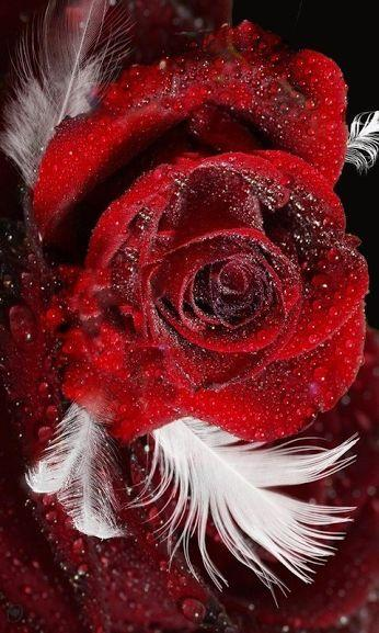 """Red Rose & Feathers"" Diamond Painting - Full"