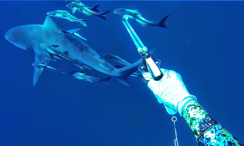 RUNNING WITH THE BULLS - SPEARFISHING COBIA FROM EASTSIDEFISHING.COM