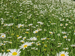 field of chamomile flowers