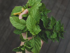 peppermint plant leaves in a hand