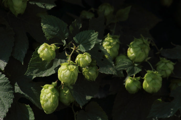 Benefits of Hops in Skincare and Body Products